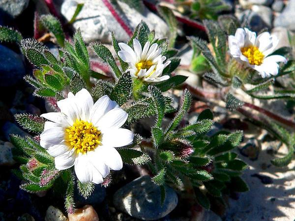 Mojave Desertstar (Monoptilon Bellioides) https://www.sagebud.com/mojave-desertstar-monoptilon-bellioides