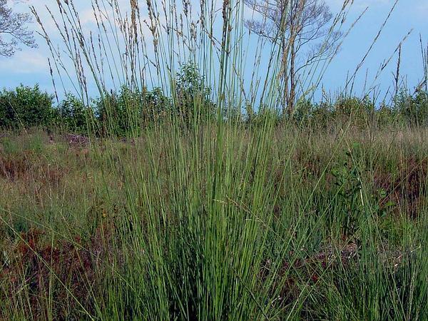 Purple Moorgrass (Molinia Caerulea) https://www.sagebud.com/purple-moorgrass-molinia-caerulea/