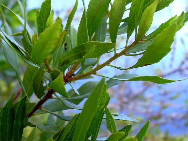 Wax Myrtle (Morella Cerifera) https://www.sagebud.com/wax-myrtle-morella-cerifera