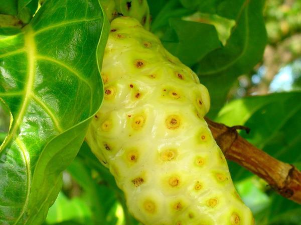 Indian Mulberry (Morinda Citrifolia) https://www.sagebud.com/indian-mulberry-morinda-citrifolia