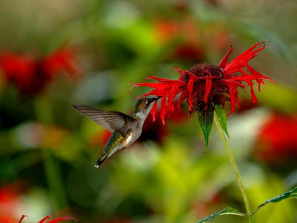 Scarlet Beebalm (Monarda Didyma) https://www.sagebud.com/scarlet-beebalm-monarda-didyma