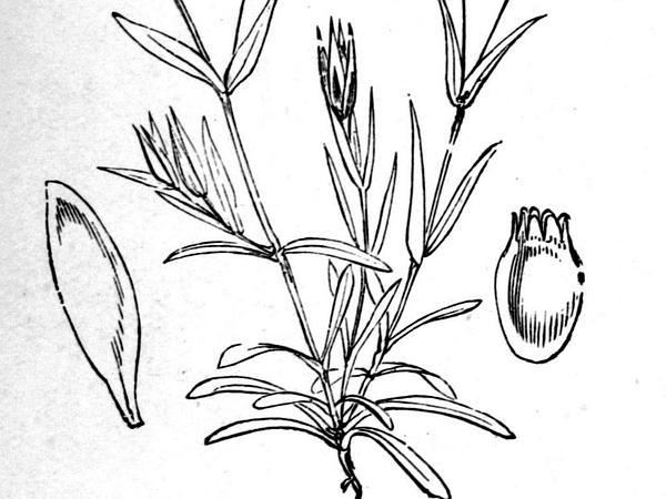 Upright Chickweed (Moenchia Erecta) https://www.sagebud.com/upright-chickweed-moenchia-erecta/