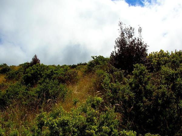 Firetree (Morella Faya) https://www.sagebud.com/firetree-morella-faya