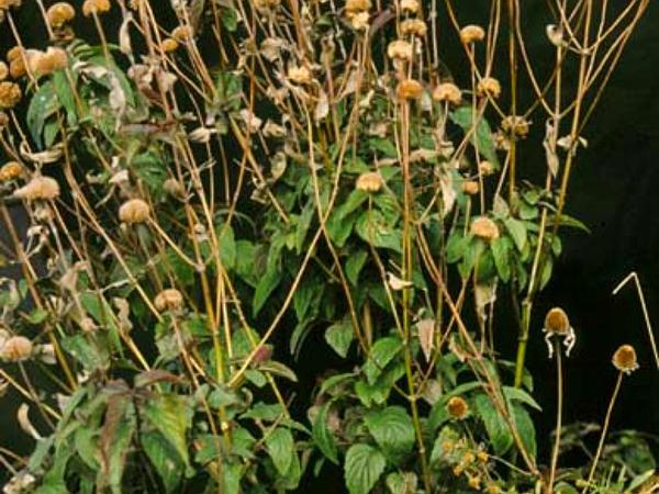 Wild Bergamot (Monarda Fistulosa) https://www.sagebud.com/wild-bergamot-monarda-fistulosa