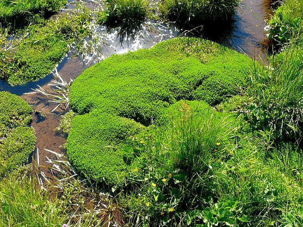 Annual Water Minerslettuce (Montia Fontana) https://www.sagebud.com/annual-water-minerslettuce-montia-fontana