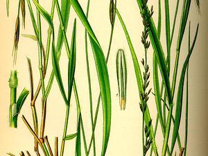 Moorgrass