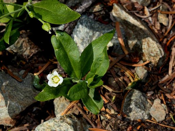 Largeleaf Sandwort (Moehringia Macrophylla) https://www.sagebud.com/largeleaf-sandwort-moehringia-macrophylla