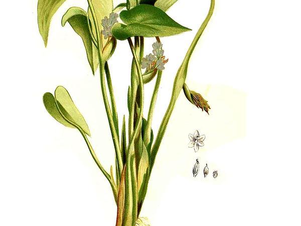 Monochoria (Monochoria) https://www.sagebud.com/monochoria-monochoria/