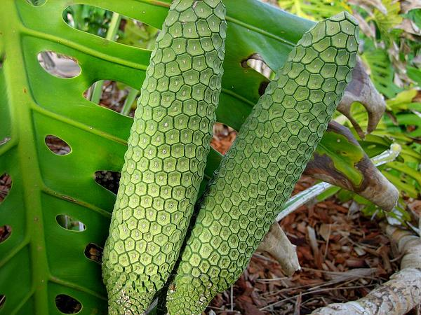 Monstera (Monstera) https://www.sagebud.com/monstera-monstera