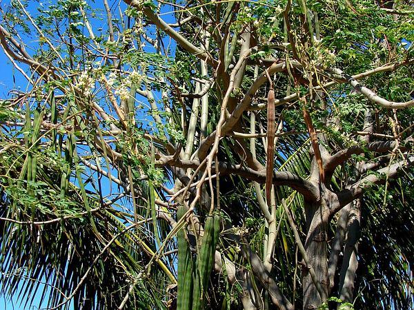 Horseradishtree (Moringa Oleifera) https://www.sagebud.com/horseradishtree-moringa-oleifera/