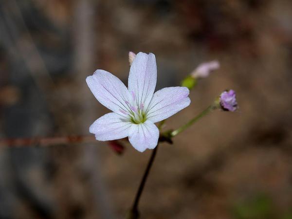Littleleaf Minerslettuce (Montia Parvifolia) https://www.sagebud.com/littleleaf-minerslettuce-montia-parvifolia