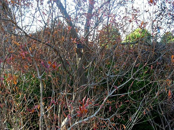 Northern Bayberry (Morella Pensylvanica) https://www.sagebud.com/northern-bayberry-morella-pensylvanica