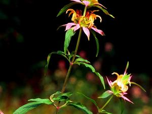 Spotted Beebalm