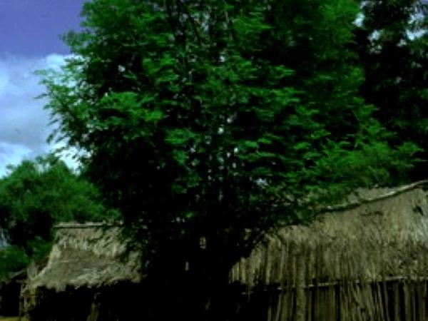 Moringa (Moringa) https://www.sagebud.com/moringa-moringa