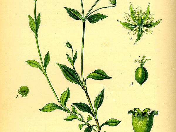 Apetalous Sandwort (Moehringia Trinervia) https://www.sagebud.com/apetalous-sandwort-moehringia-trinervia