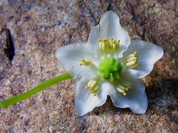Single Delight (Moneses Uniflora) https://www.sagebud.com/single-delight-moneses-uniflora