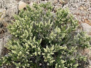 Utah Mortonia