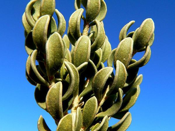 Utah Mortonia (Mortonia Utahensis) https://www.sagebud.com/utah-mortonia-mortonia-utahensis
