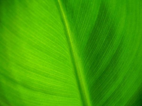 Edible Banana (Musa Acuminata) https://www.sagebud.com/edible-banana-musa-acuminata