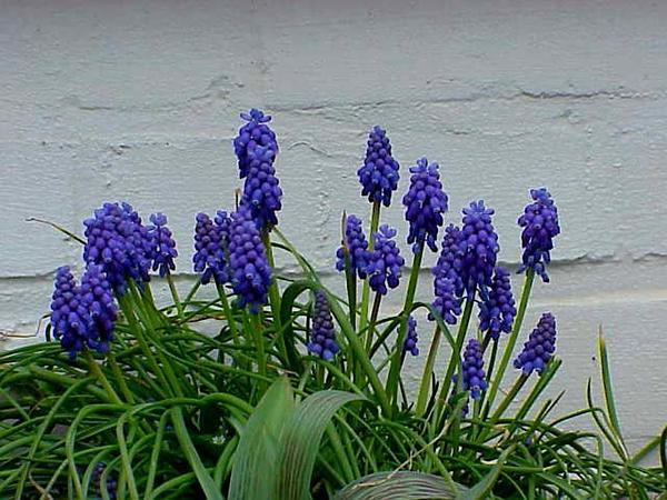 Armenian Grape Hyacinth (Muscari Armeniacum) https://www.sagebud.com/armenian-grape-hyacinth-muscari-armeniacum