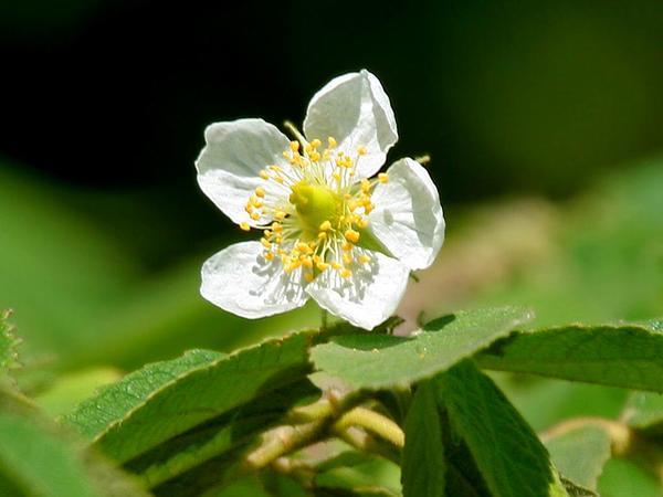 Strawberrytree (Muntingia Calabura) https://www.sagebud.com/strawberrytree-muntingia-calabura