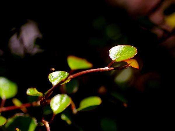 Maidenhair Vine (Muehlenbeckia Complexa) https://www.sagebud.com/maidenhair-vine-muehlenbeckia-complexa