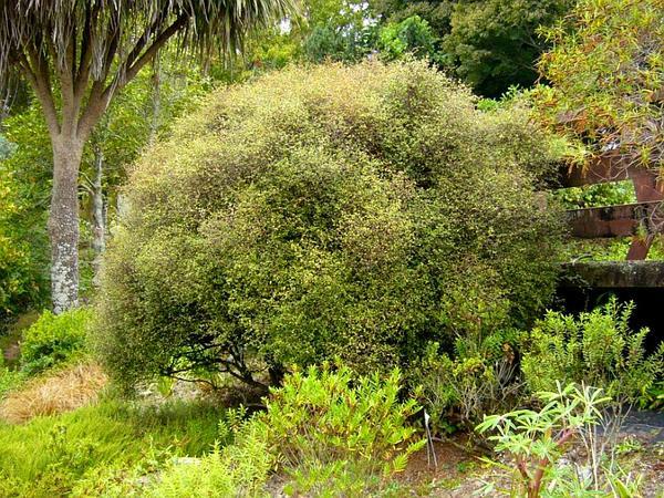 Maidenhair Vine (Muehlenbeckia) https://www.sagebud.com/maidenhair-vine-muehlenbeckia