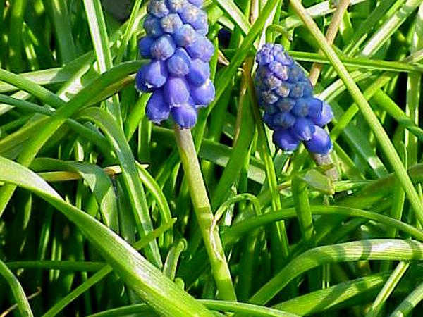 Starch Grape Hyacinth (Muscari Neglectum) https://www.sagebud.com/starch-grape-hyacinth-muscari-neglectum