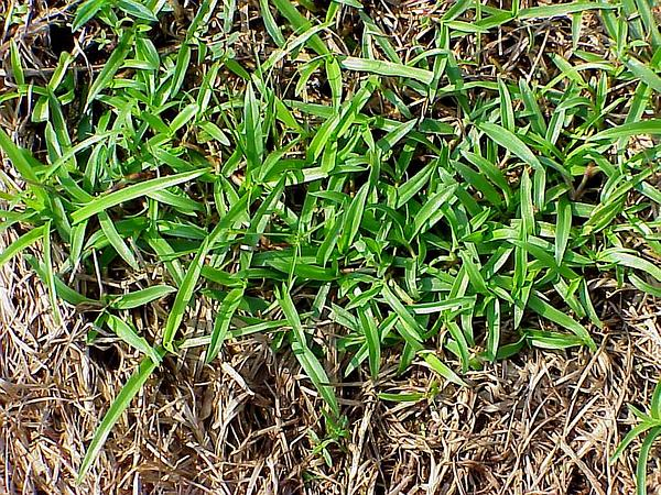 Nakedstem Dewflower (Murdannia Nudiflora) https://www.sagebud.com/nakedstem-dewflower-murdannia-nudiflora/