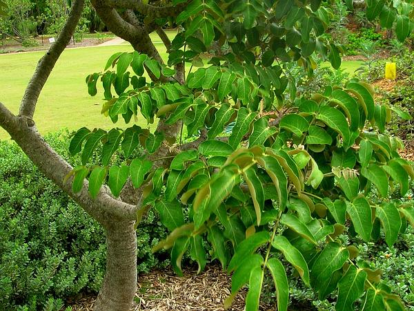 False 'Ohe (Munroidendron Racemosum) https://www.sagebud.com/false-ohe-munroidendron-racemosum