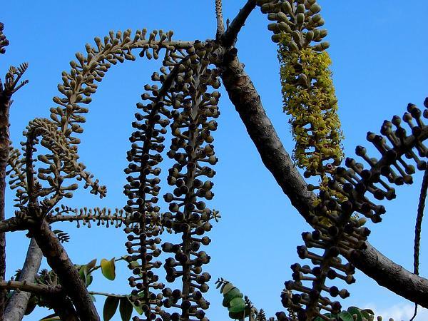 False 'Ohe (Munroidendron Racemosum) https://www.sagebud.com/false-ohe-munroidendron-racemosum