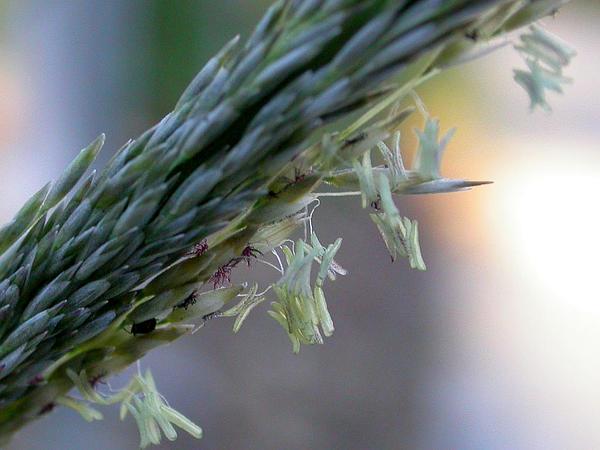 Deergrass (Muhlenbergia Rigens) https://www.sagebud.com/deergrass-muhlenbergia-rigens