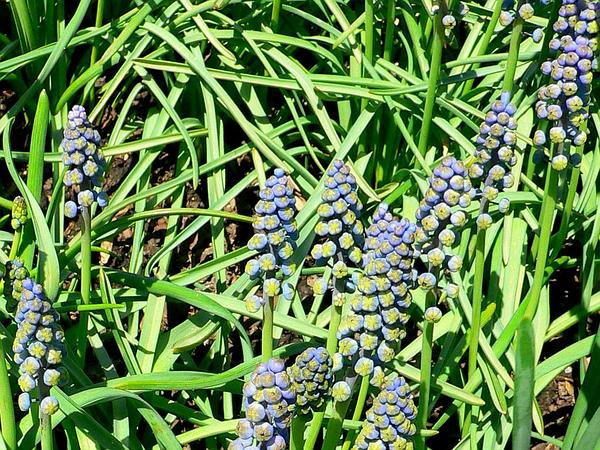 Grape Hyacinth (Muscari) https://www.sagebud.com/grape-hyacinth-muscari
