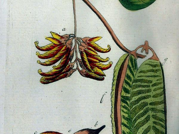 Horseeye Bean (Mucuna Sloanei) https://www.sagebud.com/horseeye-bean-mucuna-sloanei