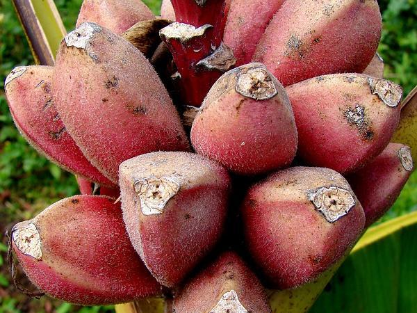 Hairy Banana (Musa Velutina) https://www.sagebud.com/hairy-banana-musa-velutina