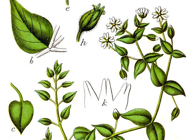 Giantchickweed (Myosoton Aquaticum) https://www.sagebud.com/giantchickweed-myosoton-aquaticum