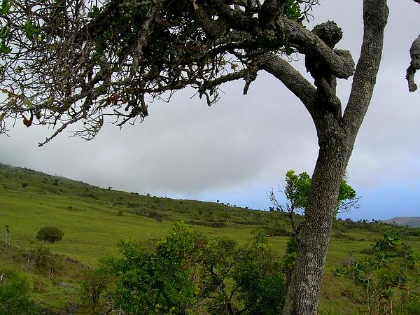 Kolea Lau Nui (Myrsine Lessertiana) https://www.sagebud.com/kolea-lau-nui-myrsine-lessertiana