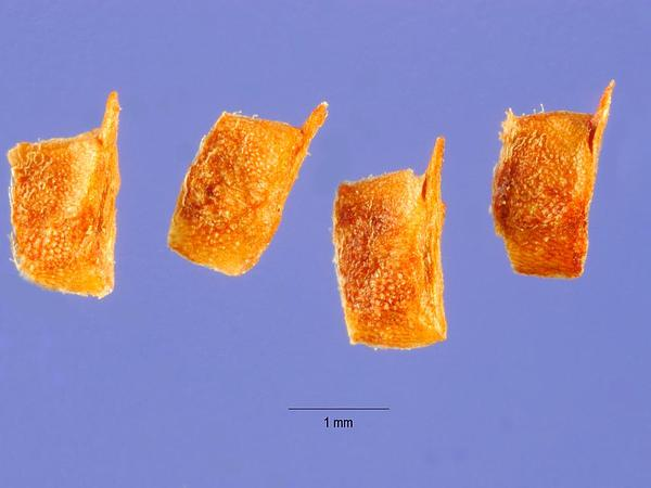 Tiny Mousetail (Myosurus Minimus) https://www.sagebud.com/tiny-mousetail-myosurus-minimus/