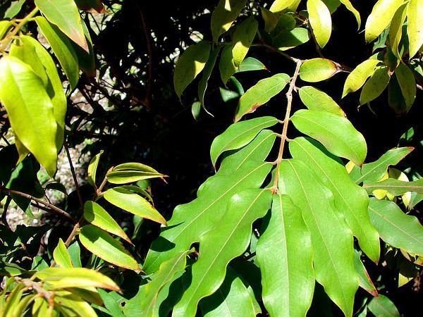 Guavaberry (Myrciaria) https://www.sagebud.com/guavaberry-myrciaria