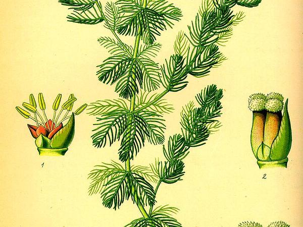 Watermilfoil (Myriophyllum) https://www.sagebud.com/watermilfoil-myriophyllum