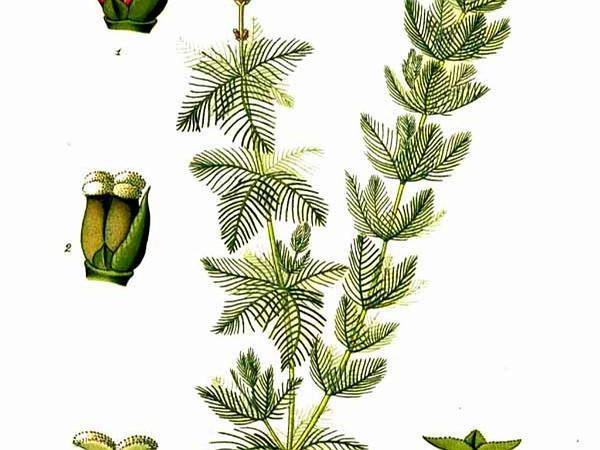 Eurasian Watermilfoil (Myriophyllum Spicatum) https://www.sagebud.com/eurasian-watermilfoil-myriophyllum-spicatum