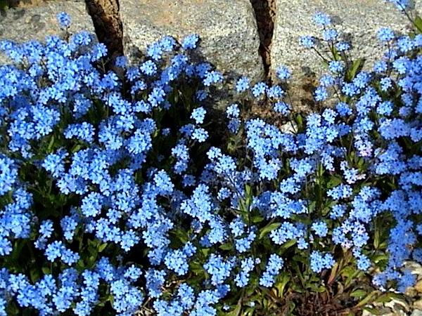 Woodland Forget-Me-Not (Myosotis Sylvatica) https://www.sagebud.com/woodland-forget-me-not-myosotis-sylvatica
