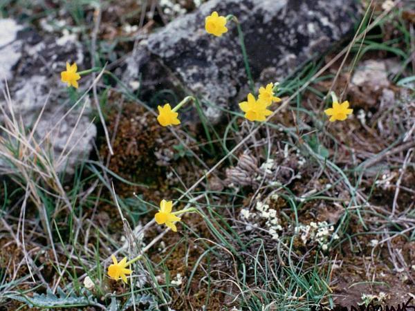 Rushleaf Jonquil (Narcissus Assoanus) https://www.sagebud.com/rushleaf-jonquil-narcissus-assoanus