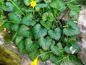 Petticoat Daffodil