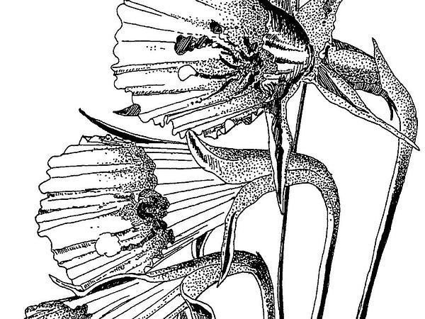 Petticoat Daffodil (Narcissus Bulbocodium) https://www.sagebud.com/petticoat-daffodil-narcissus-bulbocodium