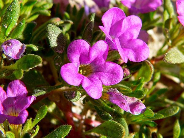 Purplemat (Nama Demissum) https://www.sagebud.com/purplemat-nama-demissum