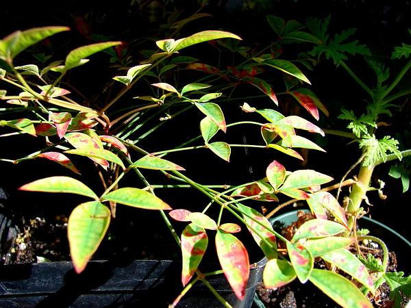 Sacred Bamboo (Nandina Domestica) https://www.sagebud.com/sacred-bamboo-nandina-domestica