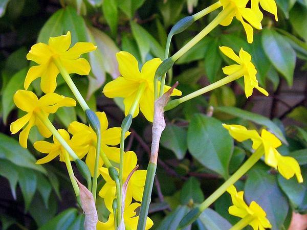 Jonquil (Narcissus Jonquilla) https://www.sagebud.com/jonquil-narcissus-jonquilla