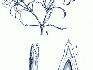 Brittle Waternymph