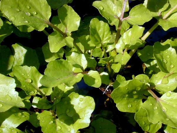 Onerow Yellowcress (Nasturtium Microphyllum) https://www.sagebud.com/onerow-yellowcress-nasturtium-microphyllum